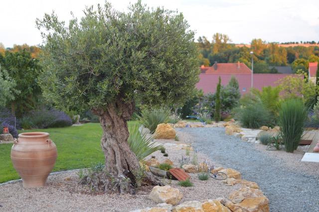 mediterrane pflanzen olivenbaum unikat full size. Black Bedroom Furniture Sets. Home Design Ideas