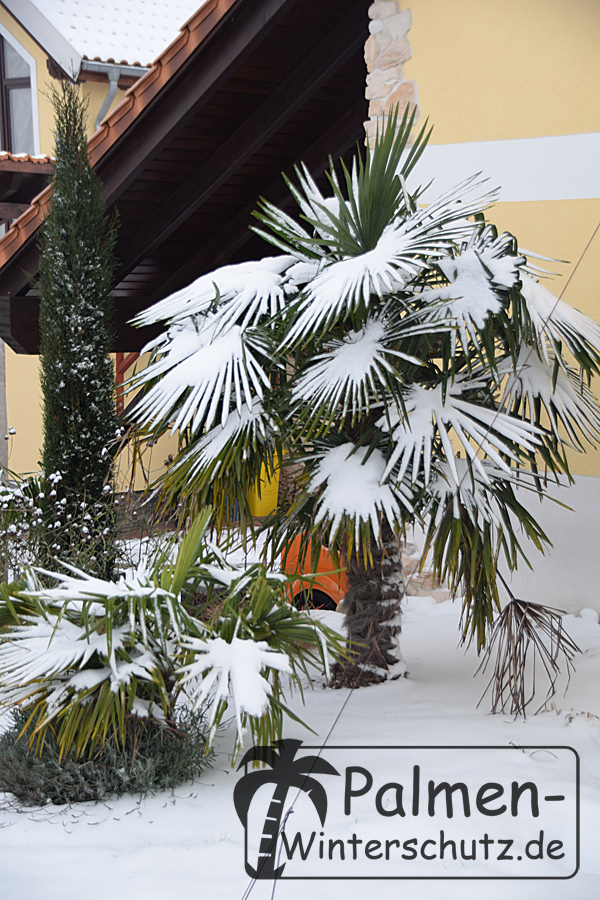 Palmen Winterschutz