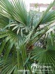 Blick in die Blattkrone von Trachycarpus Fortunei.