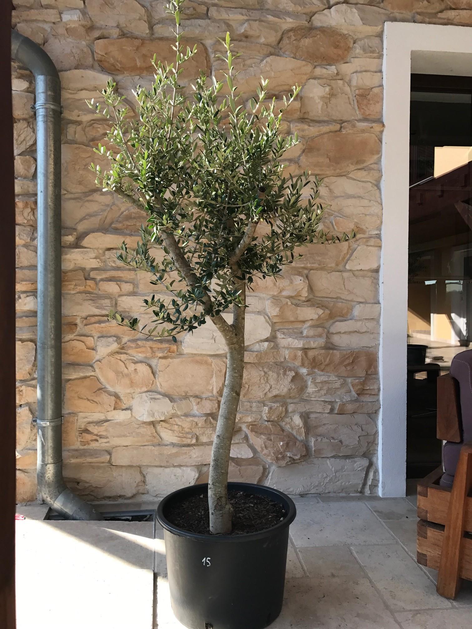 mediterrane pflanzen olivenbaum st mmchen 15. Black Bedroom Furniture Sets. Home Design Ideas